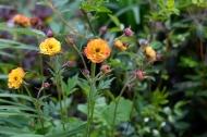 Geum flowers