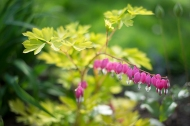 Golden bleeding heart