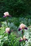 Iris in sunlight