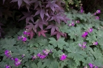 Maple 'Bloodgood' and Geranium