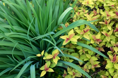 Spirea and daylily foliage
