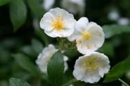 Darlow's Enigma blossom