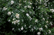 Darlow's Enigma hybrid musk rose