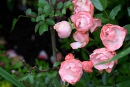 Margo Koster polyantha rose