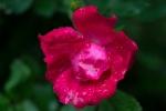 Rose de Rescht closeup
