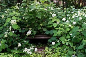 Bench swallowed by hydrangeas