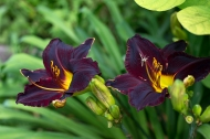 Daylily 'Night Wings'