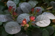Raindrops on purple smoke bush
