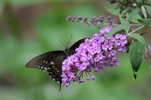 butterflyWP