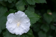 Rose of Sharon 'Diana'