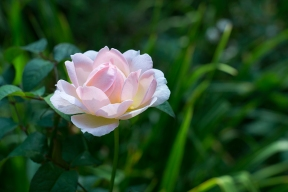English rose 'Sharifa Asma'
