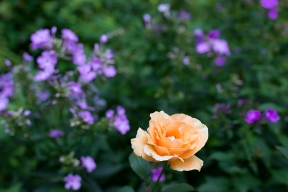'Winter Sunset' rose with Phlox