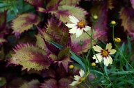 Coreopsis 'Redshift' and coleus