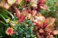 Bronze mum and coleus