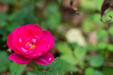 Rose 'Bohemian Rhapsody'