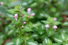 Lamium 'Pink Pewter'