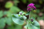 Ageratum 'Red Sea'