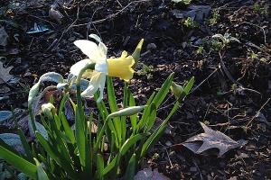 Daffodil 'Verdant Meadow'