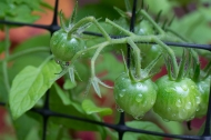 Cherry tomatoes in progress