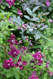 Clematis and Rosa glauca