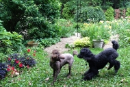 Poodle play