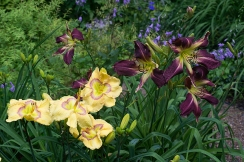 Daylilies 'Etched Eyes' & 'Vampire LeStat'