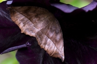 Moth nestled in petunia