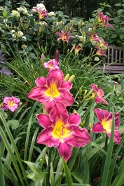 Daylily 'Shadow Passage'