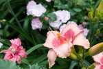Daylily 'Strawberry Fields Forever'