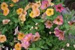 Terracotta petunias