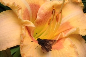 Daylily 'Wisest of Wizards' with visitor