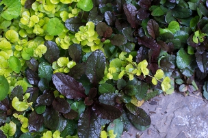 Ajuga reptans and golden creeping Jenny