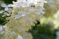 Bee on PG Hydrangea