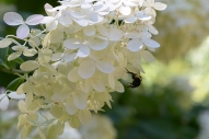 Bee on PG Hydrangea