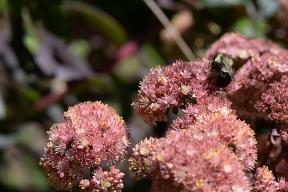Bee on sedum bloom