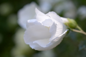 Closeup of 'White Chiffon'