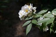 Rose 'Darlow's Enigma' bloom cluster