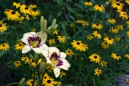 Daylily 'El Desperado' and Rudbeckia 'Viette's Little Suzy'