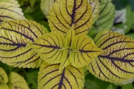 Coleus 'Gay's Delight'