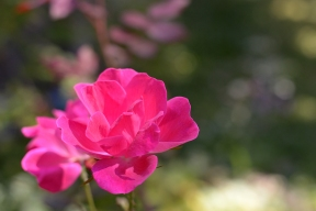 Rose 'Knockout'