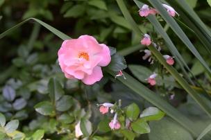 Rose 'Peach Drift' with salvia