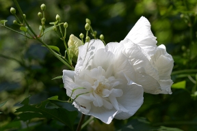 Rose of Sharon 'White Chiffon'