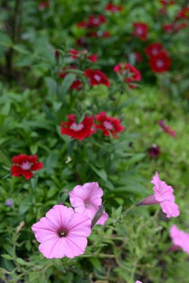 Pink and red annuals