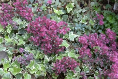 Sedums and ivy