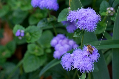 Bee and ageratum