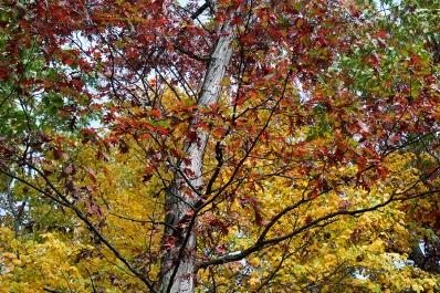 Bronze oak, golden maple