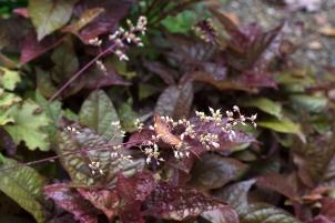 Heuchera 'Creme Brûlée' flowers