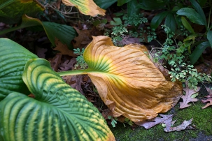 Hosta leaf in graceful decline