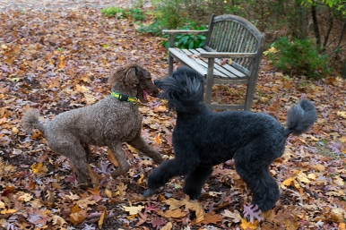 Poodles romp in the leaves