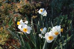 Dreams of daffodils